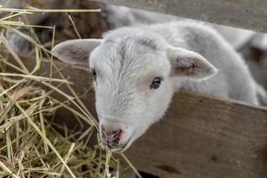 beau mouton curieux non tondu avec agneau photo