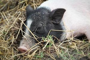 petit cochon photo