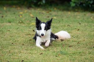 border collie ou chien de berger photo