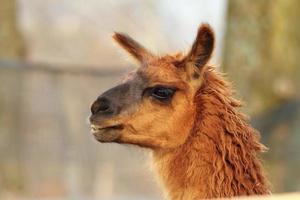 gros plan tête de lama photo