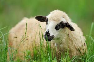 troupeau de moutons sur un champ d'été photo