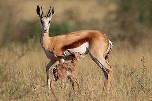 springbok avec agneau photo