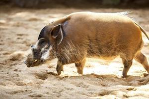 porc de la rivière rouge photo