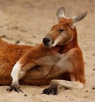 kangourou hautain et important