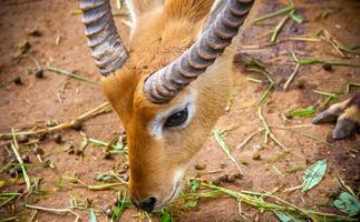 gazelle mange de l'herbe photo