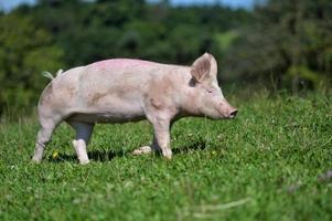 hausschwein photo