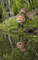 Renard roux regardant fixement avec beau reflet dans le lac photo