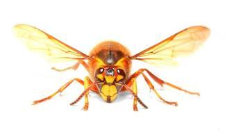 le frelon européen (vespa crabro). photo