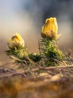 adonis vernalis. faux hellébore photo