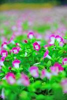 fleurs de paillettes violet paon photo