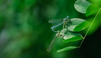 accouplement de libellules photo