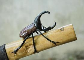 r ฺ hino beetle photo