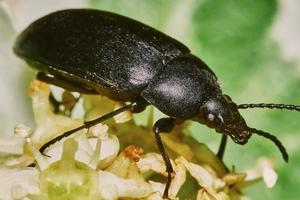 coléoptère noir photo