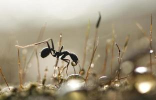 fourmi avec hovey photo