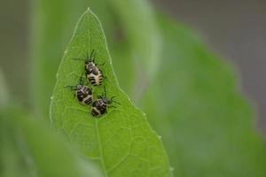 larves de punaises