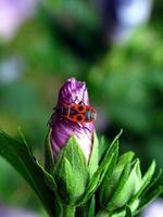 fleur d'hibiscus avec coléoptère photo