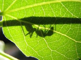 fourmi solitaire