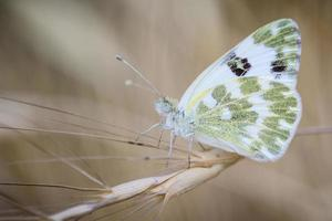papillon blanc et vert sur l'aubergiste de branche photo