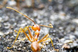 fourmi rouge feu armée et bokeh sur fond