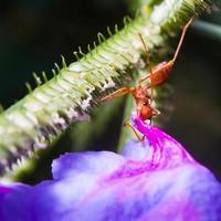 fourmi rouge photo