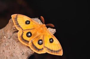 papillon empereur, aglia tau photo