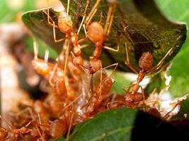 travail d'équipe de fourmi rouge photo