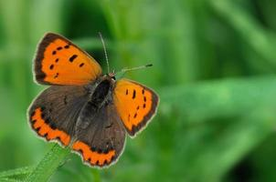 lycaena phlaeas photo