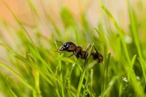 fourmi macro dans l'herbe avec de la rosée photo
