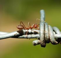fourmi sur fil de fer barbelé