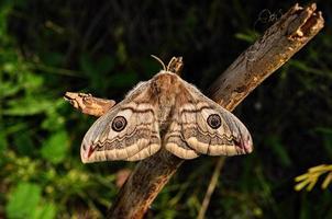 papillon de nuit photo