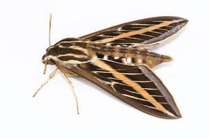papillon sphinx à lignes blanches