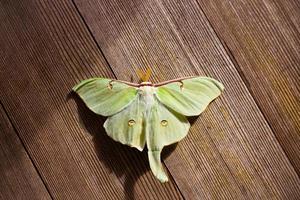 papillon de Luna photo