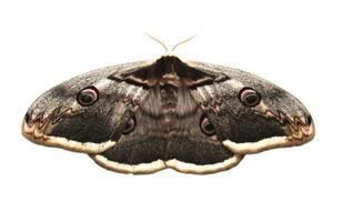 papillon de paon géant photo