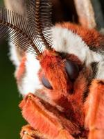 papillon de soie géant bouchent portrait photo
