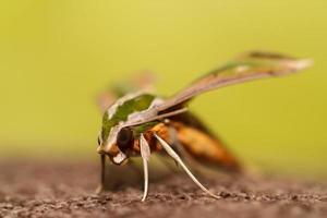 papillon de nuit dans la nature photo