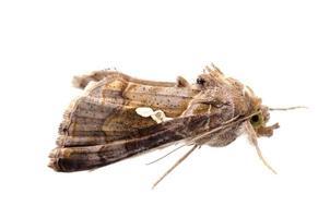 papillon de museau photo