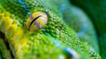 Oeil d'un serpent python (Morelia viridis) arbre vert photo