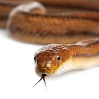 serpent rat - elaphe obsoleta (4 ans) photo
