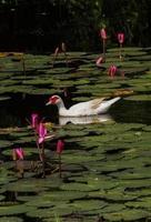 canard blanc photo
