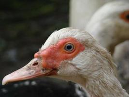 canard musqué photo