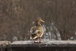 canard sauvage dans la ville photo