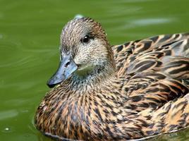 canard falcifié femelle natation