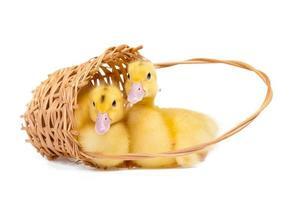 deux petits canards jaunes dans un panier en bois sur fond blanc photo