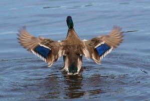 canard colvert ailes flappy sur l'eau photo