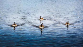 troupe de canard
