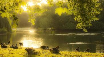 canards au parc St James à Londres photo