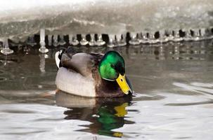 canard sur le lac photo