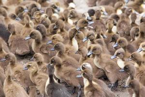 élevage de volailles. canetons photo