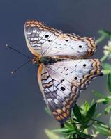 papillon paon blanc photo