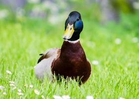 canard colvert photo